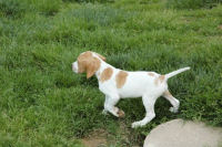 Chiot pointer